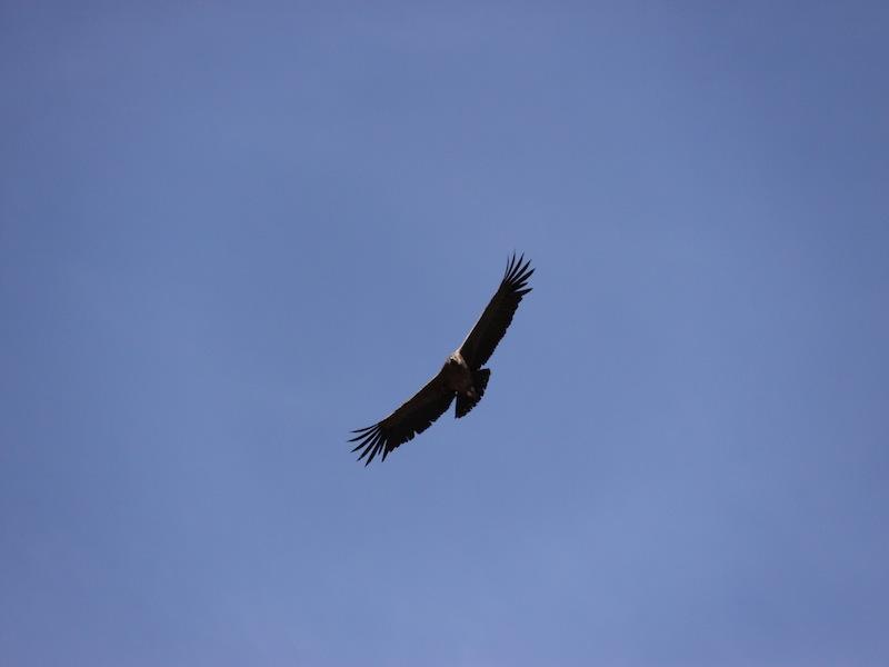 Der Kondor im Colca Canyon, Peru - November 2009